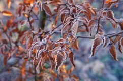 Branches of a tree with orange leaves covered with hoarfrost. Late autumn or winter natural background Royalty Free Stock Images
