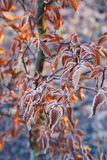 Branches of a tree with orange leaves covered with hoarfrost. Late autumn or winter natural background Stock Photography