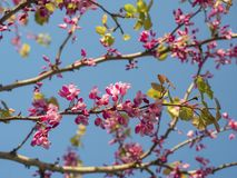 Branches of the tree with pink tender flowers in the rays of the spring sun against the blue sky. stock photo