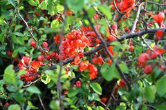 Branches of tree with red flowers. Tree blossoms with small red flowers on its branches, with green leaves also - in the sunny spring day Royalty Free Stock Images