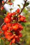 Branches of tree with red flowers. Tree blossoms with small red flowers on its branches, with green leaves also - in the sunny spring day Stock Photos