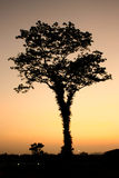 Branches of tree. Silhouette of branches of tree with sunset in behind Stock Image