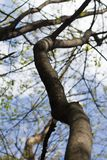 Branches of a tree with small green leaves in spring. On a sunny day Royalty Free Stock Image