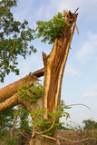 Branches of the tree splits. Stock Photo