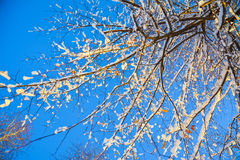 Branches of a tree in sunlight against the sky Stock Photo