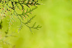 Branches of the tree thuja Royalty Free Stock Photos