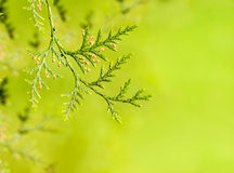Branches of the tree thuja Stock Image