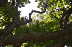 Climb. Branches of a tree twisting toward the heavens Royalty Free Stock Images