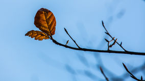 Branches with yellow leaves under blue sky. Branches of a tree under blue sky royalty free stock photography