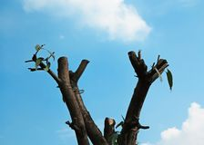 Branches of tree were cut. And sky background Royalty Free Stock Photo