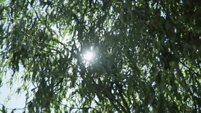 Branches of a tree with which pass the rays of the sun.  stock footage