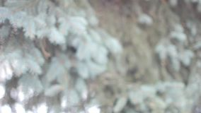 Branches of tree in winter Park. Branch of fir-tree with snow during winter stock footage