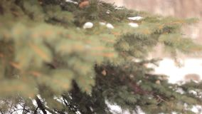 Branches of tree in winter Park. Branch of fir-tree with snow during winter stock video