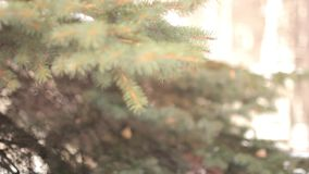 Branches of tree in winter Park. Branch of fir-tree with snow during winter stock video footage
