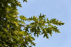 Branches of oak. Branches of a tree with young oak leaves. photo on the background of the blue sky, close-up and details of the plant in the spring Stock Photography
