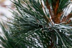 branches treen för gransnowsnowfall under Vinterdetalj Arkivbilder