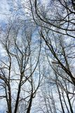 The branches of trees Royalty Free Stock Photo