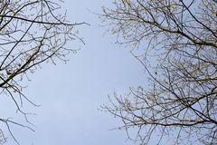 Branches of trees against the blue sky.Silhouette a tree against a background of sky. Royalty Free Stock Photo