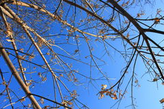 Branches of trees against the winter sky. The withered leaves Stock Image