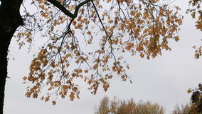 Branches of trees in autumn against the gray sky. Autumn in Russia. Branches of trees in autumn against the gray sky stock footage