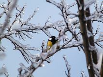 The branches of the trees and the bird titmouse in the Moscow region stock images