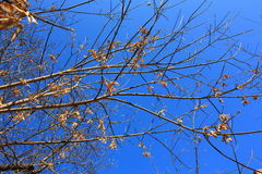 Branches of trees on blue sky background. The withered leaves Royalty Free Stock Photo