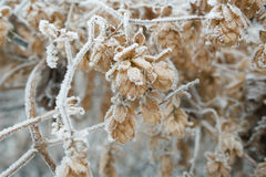 Branches of trees covered with frost Royalty Free Stock Photo