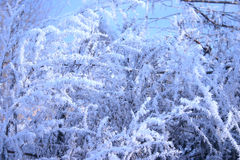 Branches of trees covered with hoarfrost. Winter branches of a tree in hoarfrost removed from optical filter application Royalty Free Stock Image