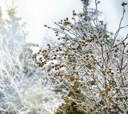 Branches of trees covered with ice rain Stock Photos