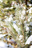 Branches of trees covered with snow Stock Images