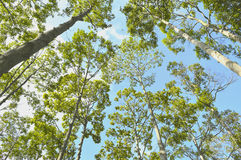 Branches of trees in the forest and the blue sky. Natural environment, Green trees help to reduce the effects of global warming Stock Image
