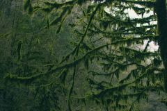 Branches of the trees in the forest covered moss Royalty Free Stock Photos