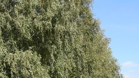 Branches of trees with green leaves stock footage