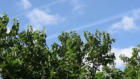 Branches of trees with green leaves stock video
