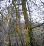 Branches of trees with lichen and moss. Stock Photo
