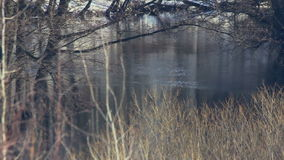 Branches of trees and river in winter forest. Winter landscape. Bushes, trees and dry grass. Dark reflection on water surface. Panorama from dry tree to stock footage