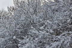 Branches of trees and shrubs abundantly covered with snow Royalty Free Stock Photo