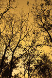 Branches of trees silhouette backlight orange sunset sky in the fall Royalty Free Stock Photography