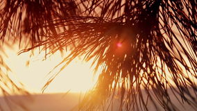 Branches of trees at sunset. In the coniferous forest stock video footage