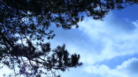 Branches trees swaying from a wind on a sky background. Branches of pine trees swaying from a wind on a sky background stock video footage