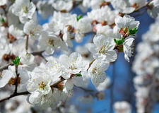 Branches of trees with white blossoms Stock Photography