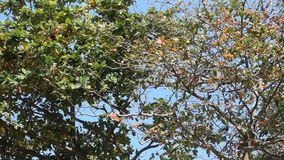 Tropical trees against the blue sky. Branches of tropical trees against the blue sky stock video