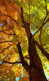 Branches and trunk with bright yellow and green leaves of autumn maple tree against the blue sky background. Bottom view.  stock photography