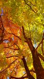 Branches and trunk with bright yellow and green leaves of autumn maple tree against the blue sky background. Bottom view stock image
