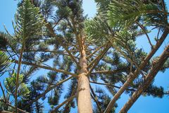 Branches, trunk and cone-shaped needles of Araucaria tree stock photos