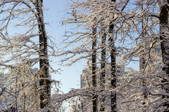 Branches and trunks of deciduous trees covered with snow Stock Photos