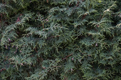 Branches of a tuya. Branches of a coniferous stock photography