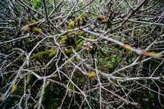 Branches and twigs are cut off from an old bush. In Englandn Royalty Free Stock Photography