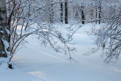 Branches under the snow royalty free stock photography