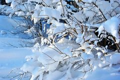 Branches under white fluffy snow, close-up detail natural background stock photography